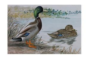 A Painting of a Male and a Female Mallard by Louis Agassi Fuertes
