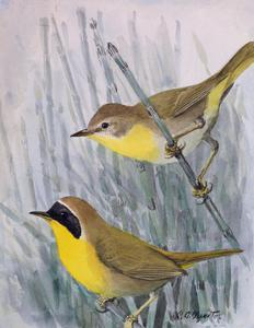 A Painting of a Male and a Female Maryland Yellow-Throat by Louis Agassi Fuertes