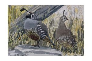 A Painting of a Pair of Quail by Louis Agassi Fuertes