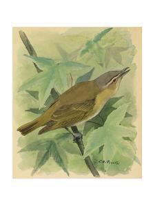 A Painting of a Red-Eyed Vireo Singing by Louis Agassi Fuertes