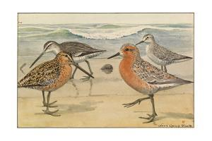 A Painting of a Red Knot and Eastern Dowitcher in Seasonal Plumage by Louis Agassi Fuertes