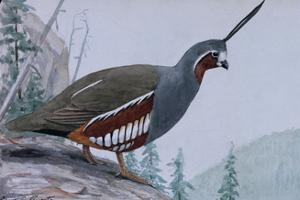 A Painting of a Single Mountain Quail by Louis Agassi Fuertes