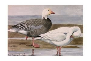 A Painting of a Snow Goose and a Blue Goose on a Sandy Shoreline by Louis Agassi Fuertes