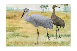 A Painting of Adult and Juvenile Sandhill Cranes by Louis Agassi Fuertes