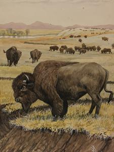 A Painting of an American Bison, or Buffalo, Grazing with its Herd by Louis Agassi Fuertes