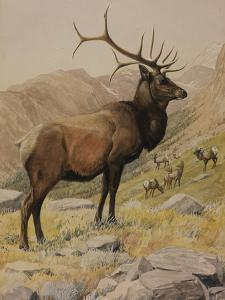 A Painting of an American Elk, also known as a Wapiti, and its Herd by Louis Agassi Fuertes