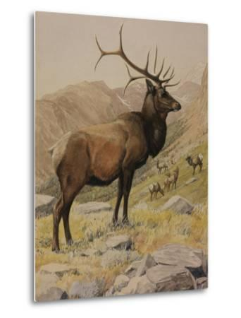 A Painting of an American Elk, also known as a Wapiti, and its Herd