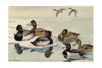 A Painting of Greater Scaup, Lesser Scaup, and Ring-Necked Ducks