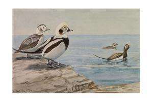 A Painting of Long-Tailed Ducks, Clangula Hyemalis by Louis Agassi Fuertes
