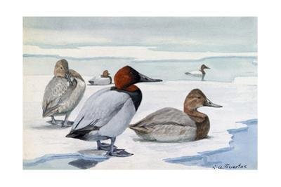 A Painting of Male and Female Canvasback Ducks