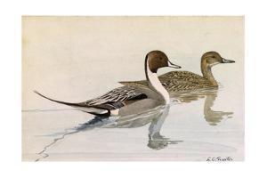 A Painting of Male and Female Pintail Ducks by Louis Agassi Fuertes