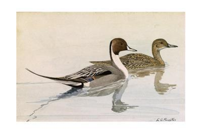 A Painting of Male and Female Pintail Ducks