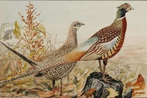 A Painting of Male and Female Ring-Necked Pheasants by Louis Agassi Fuertes