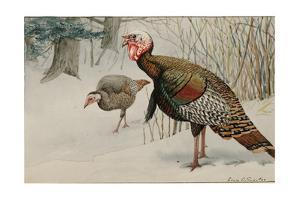 A Painting of Male and Female Wild Turkeys in Snow by Louis Agassi Fuertes