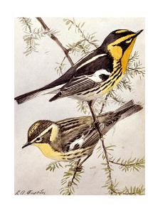 A Painting of the Male and Female Blackburnian Warbler by Louis Agassi Fuertes