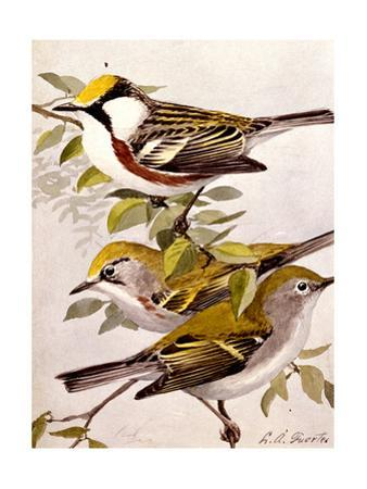 A Painting of the Male and Female Chestnut-Sided Warbler
