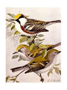 A Painting of the Male and Female Chestnut-Sided Warbler by Louis Agassi Fuertes