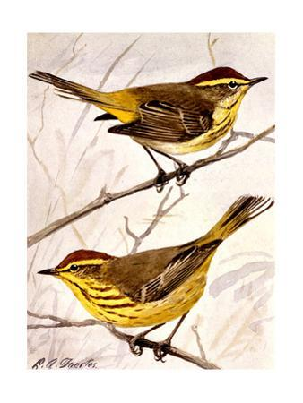 A Painting of the Palm Warbler and the Yellow Palm Warbler