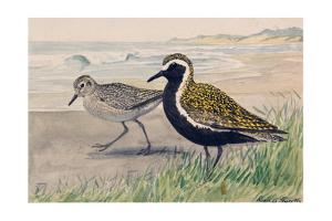 A Painting of Two Golden Plovers in Winter and Summer Plumage by Louis Agassi Fuertes