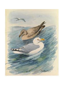 A Painting of Two Herring Gulls in Different Seasonal Plumage by Louis Agassi Fuertes
