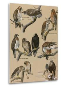 A Painting Portraying Various Species of Hawks by Louis Agassi Fuertes