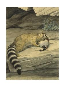 A Ring-Tailed Cat Stands with Paw on it's Prey, a Quail by Louis Agassi Fuertes