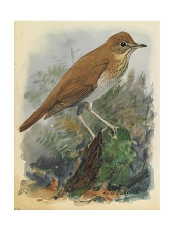 A Veery Bird Perches on a Branch Among Vegetation