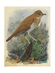 A Veery Bird Perches on a Branch Among Vegetation by Louis Agassi Fuertes