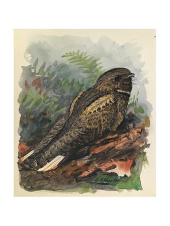 A Whippoorwill Bird Sits on a Wooden Log