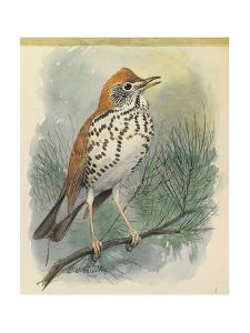 A Wood Thrush Bird Perches on a Branch by Louis Agassi Fuertes