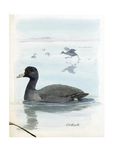 An Illustration of a Cover of Coots That Swim in Water by Louis Agassi Fuertes