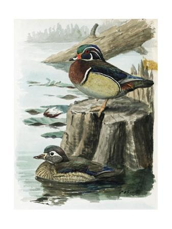 An Illustration of a Male and Female Wood Duck by the Water