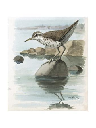 An Illustration of a Spotted Sandpiper Perched on a Rock in Water