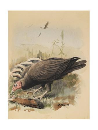 An Illustration of a Turkey Buzzard That Feeds Off an Animal Carcass
