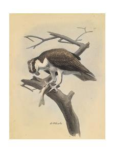 An Illustration of an Osprey Bird as it Holds its Prey on a Branch by Louis Agassi Fuertes