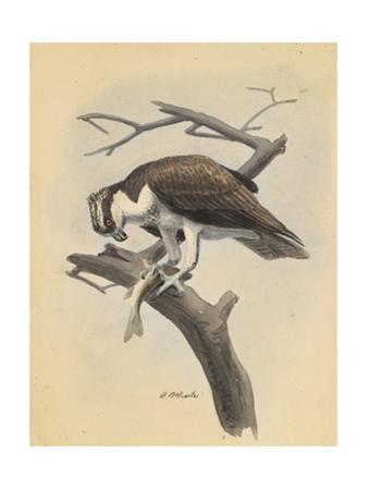 An Illustration of an Osprey Bird as it Holds its Prey on a Branch