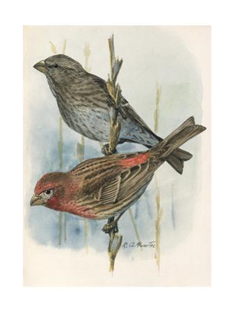 An Illustration of One Male and Female House Finch Perched on Twigs