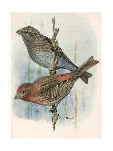 An Illustration of One Male and Female House Finch Perched on Twigs by Louis Agassi Fuertes