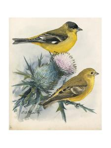 An Illustration of One Male and One Female Arkansas Goldfinch by Louis Agassi Fuertes