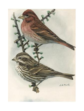 An Illustration of One Male and One Female Purple Finch