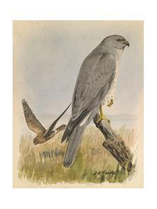 An Illustration of Two Marsh Hawks, One Is in Flight and One Rests by Louis Agassi Fuertes