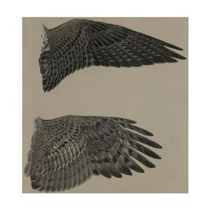 An Image of the Wings of a Falcon (Top) and a Goshawk Hawk (Lower) by Louis Agassi Fuertes