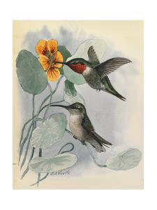 One Male and One Female Ruby-Throated Hummingbird Perches on a Flower by Louis Agassi Fuertes