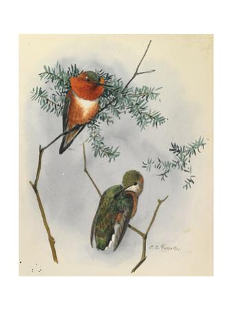 One Male and One Female Rufous Hummingbird Perches on a Branch