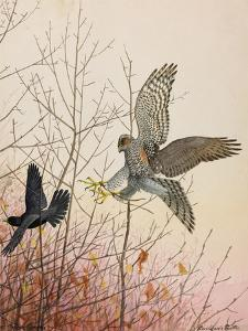 Painting of a European Sparrowhawk Attempting to Catch a Blackbird by Louis Agassi Fuertes