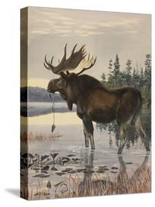 Painting of a Moose Wading in a Lake and Eating Aquatic Plants by Louis Agassi Fuertes