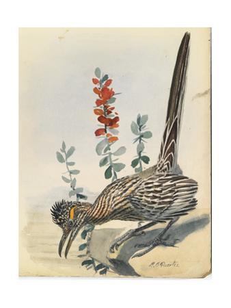 The Roadrunner Bird Perches on the Ground Near a Flower