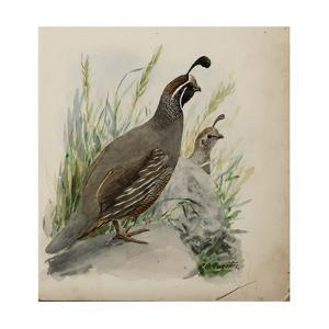Two California Quails Perch Outside Among Grass by Louis Agassi Fuertes