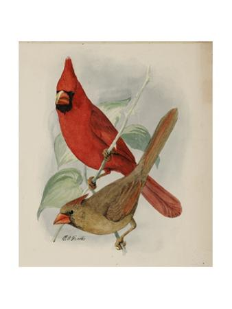Two Cardinals, One Male and One Female, Perch Outside on a Twig