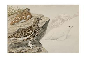 White-Tailed Ptarmigan Painted in Winter and Summer Plumage by Louis Agassi Fuertes